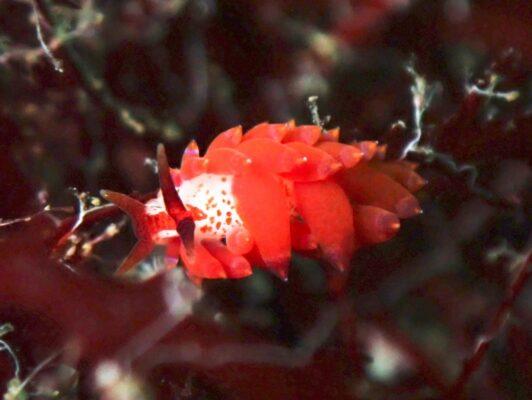 初島ダイビングツアー2020/7/2(木) ホリミノウミウシ属の1種24